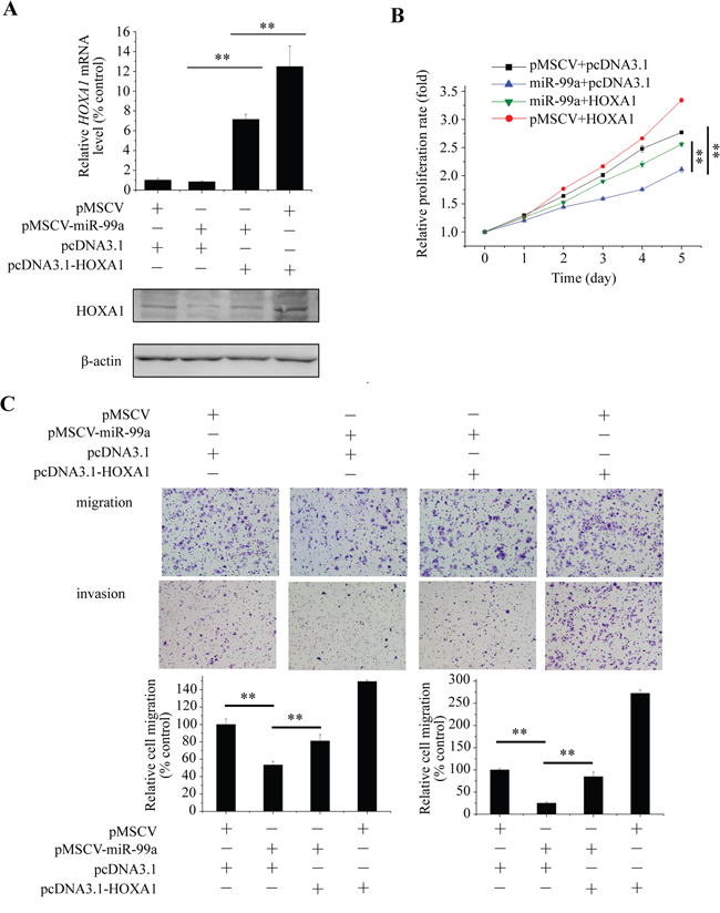 Tumor-suppressive effect of mir-99a is mediated by targeting of HOXA1 mRNA.