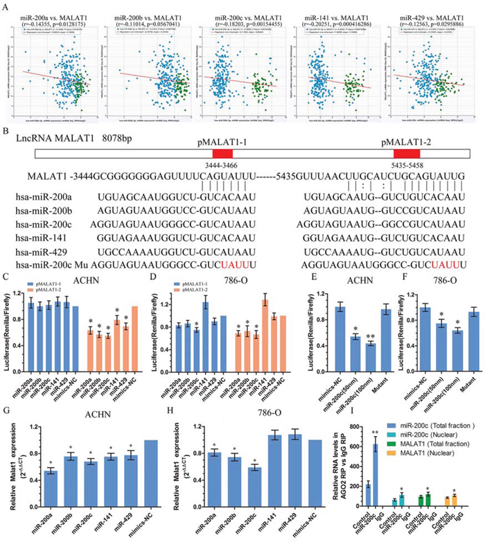 MiR-200s bound to and suppressed MALAT1 expression.