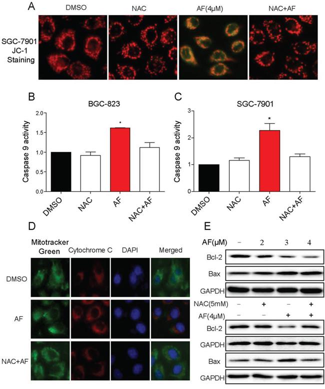 AF activates mitochondrial apoptotic pathway.
