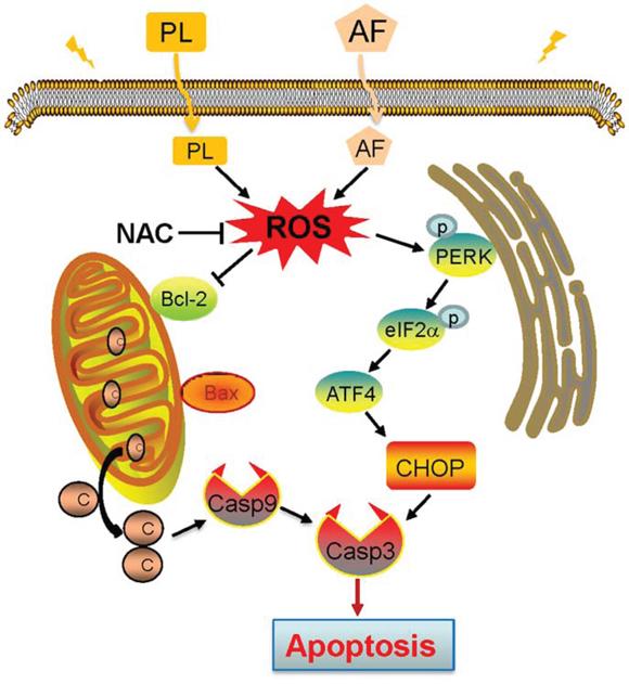 Proposed signal pathway. PL enhances AF-induced intracellular ROS accumulation.