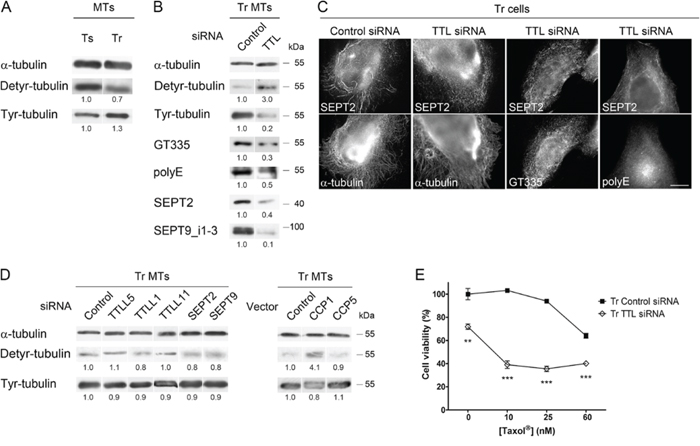 The level of Tyr-tubulin positively controls polyglutamylation and the recruitment of septins to microtubules, and therefore participates in Taxol® resistance.