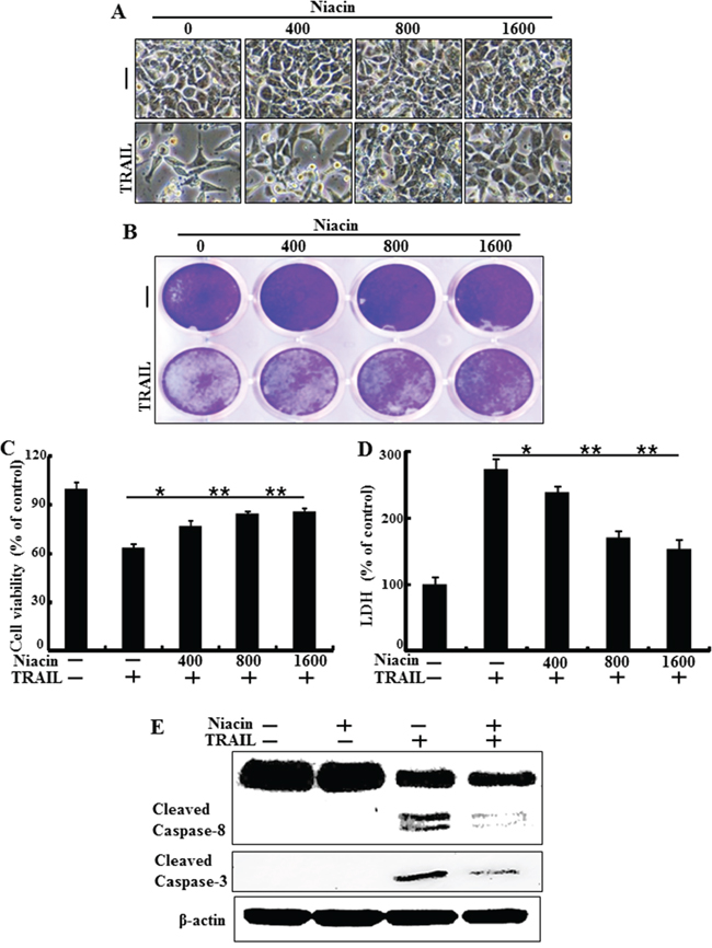 Niacin inhibits TRAIL-induced apoptosis in HCT116 cells.