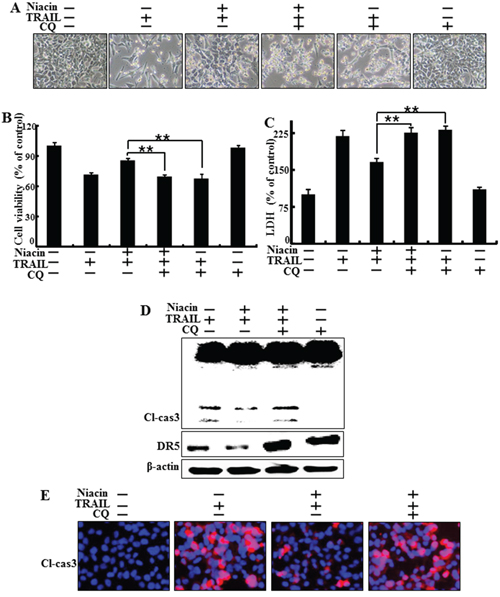 Inhibition of autophagy blocked the protective function of niacin treatment.