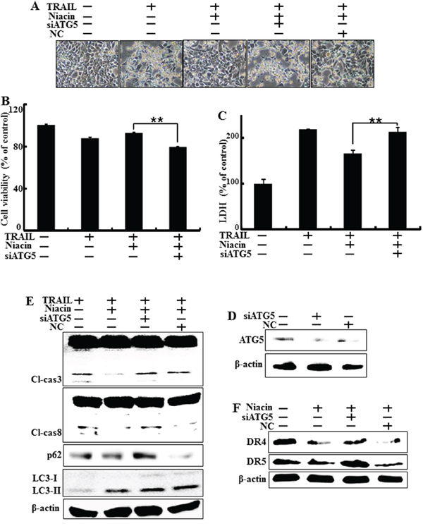 Genetic inhibition of autophagy promotes TRAIL-induced cell death upon niacin treatment.