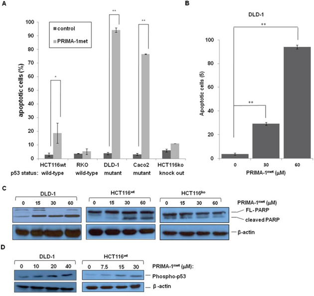 PRIMA-1met induced apoptosis in CRC cell lines.