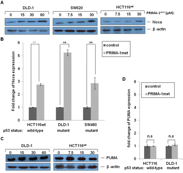 The effects of PRIMA-1met on pro-apoptotic molecules Noxa and PUMA.