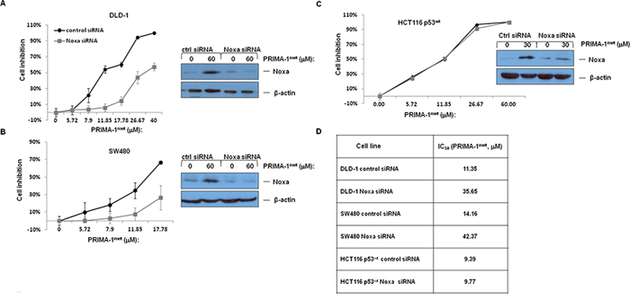 The impact of PRIMA-1met on cell proliferation after treatment of si-Noxa in DLD-1.