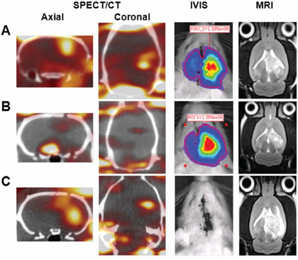 Representative micro-SPECT/CT, bioluminescence, and MR images obtained on day 10 after tumor implantation.