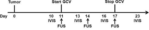 Diagram of the experimental time lines for GCV treatment.