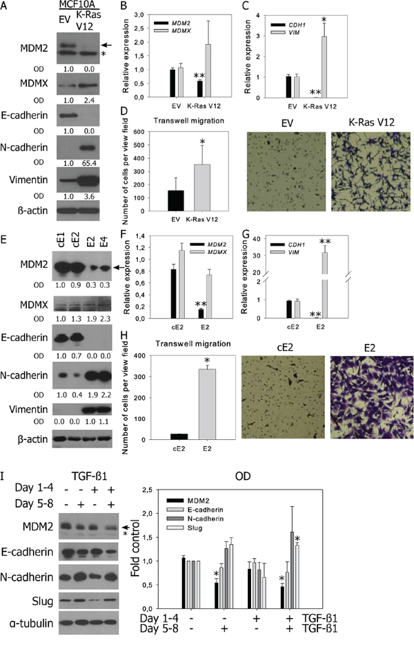 Decreased MDM2 expression is observed in prostate and breast cell lines with mesenchymal characteristics and in TGF-β-induced EMT.