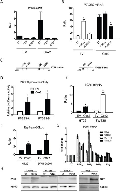 Regulation of mPGES1 expression by COX2 and EGR1.
