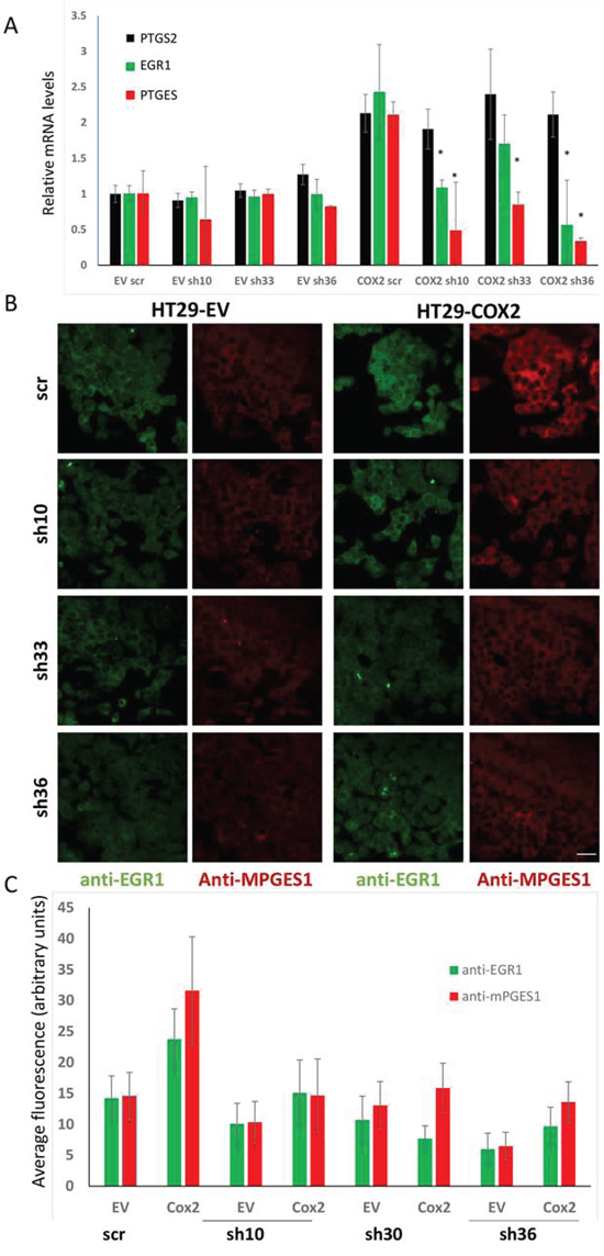 EGR1 silencing reduces the mPGES1 up-regulation by COX2.