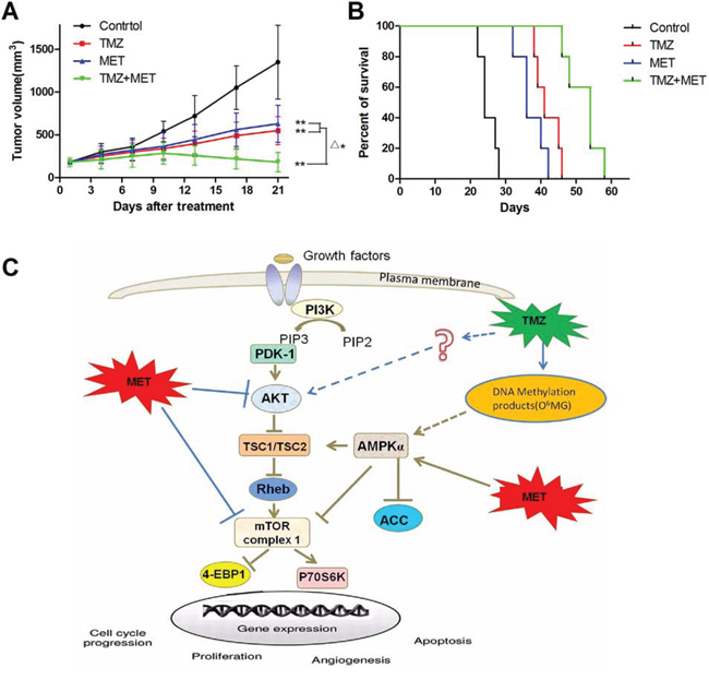 TMZ and MET synergize to inhibit glioma growth in vivo.
