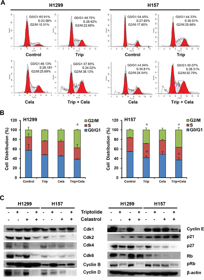 Triptolide and celastrol synergistically induce G2/M cell cycle arrest in H1299 and H157 cancer cells.