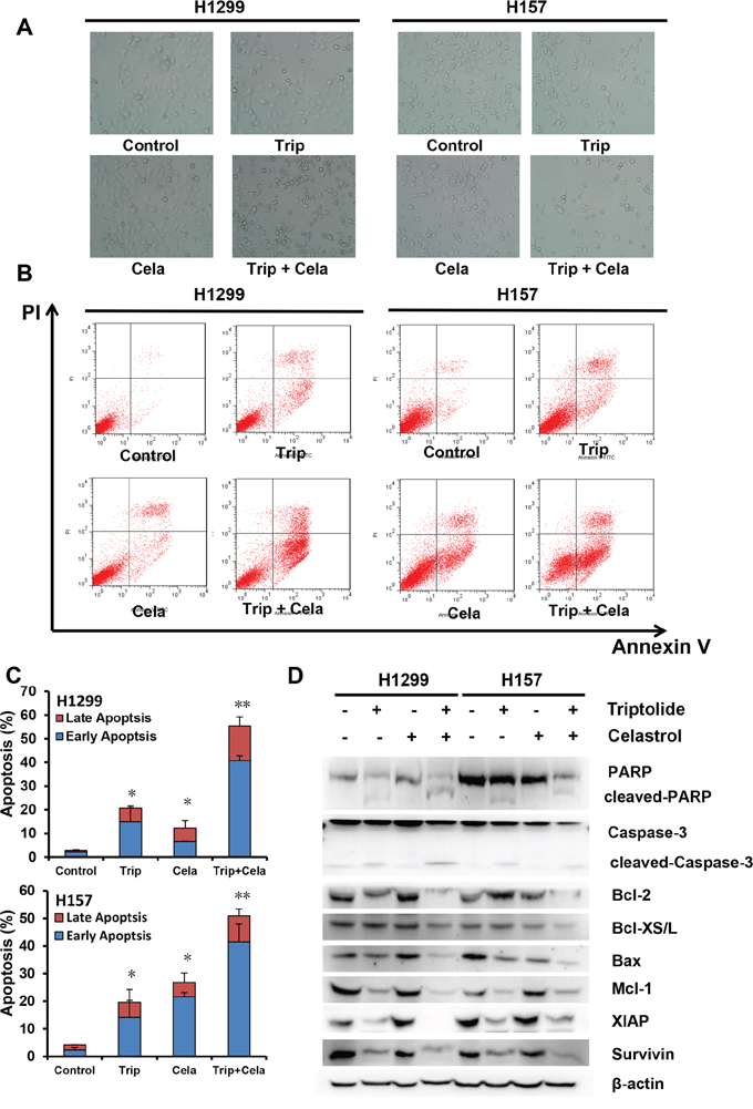 Triptolide and celastrol synergistically induce apoptosis in H1299 and H157 cancer cells.