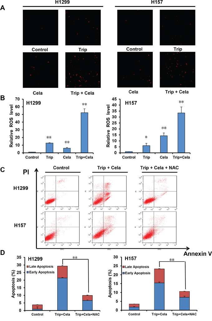 ROS is critical for the synergistic anticancer effects of triptolide and celastrol.