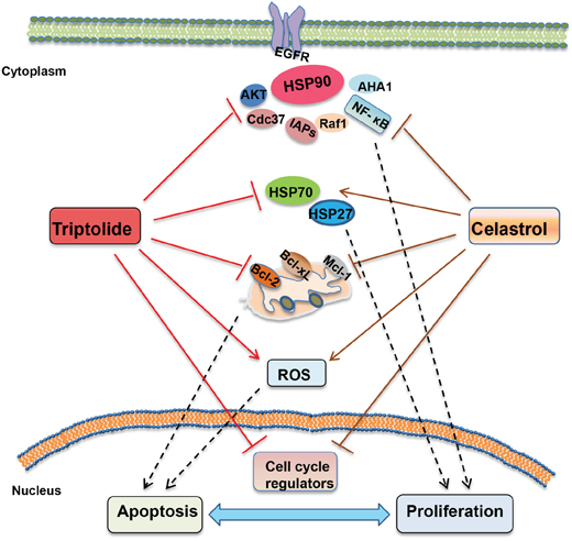 The schematic of molecular mechanisms underlying the synergistic anticancer effects of triptolide and celastrol.
