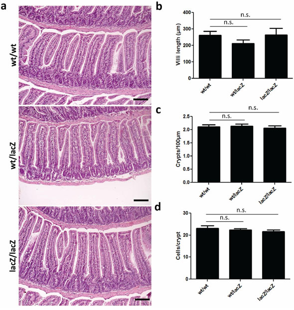 Expression of Usp22 at the crypt base does not affect small intestine morphology.