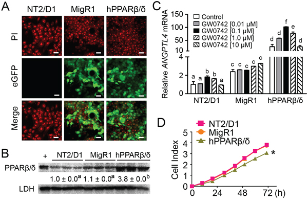 PPARβ/δ inhibits proliferation of human testicular embryonal carcinoma NT2/D1 cells.