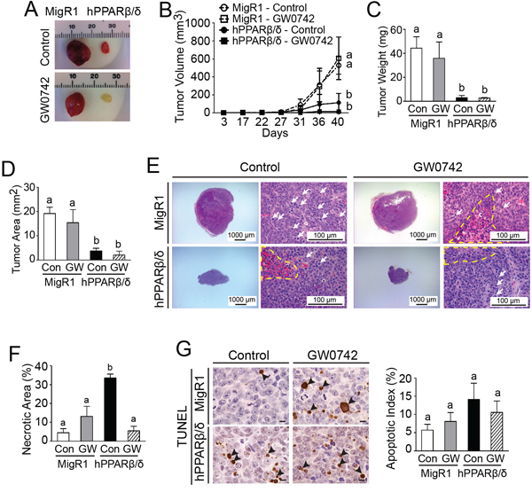 PPARβ/δ attenuates tumor growth in testicular cancer xenografts by inducing necrosis.