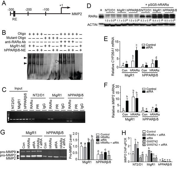 PPARβ/δ suppresses MMP2 activity by interfering with RAR signaling.