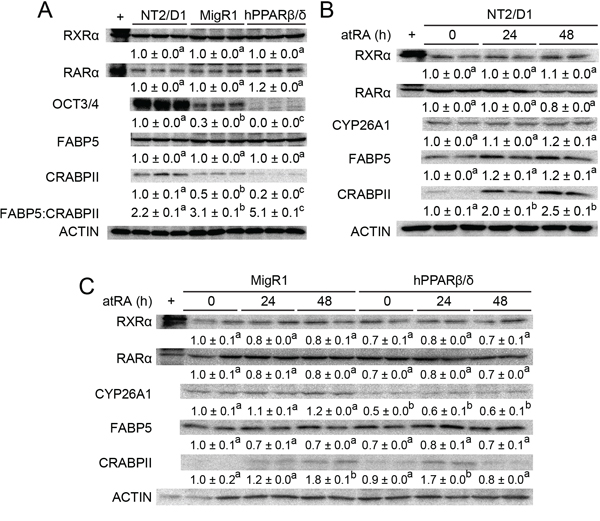 PPARβ/δ interferes with atRA-stimulated signaling in NT2/D1 cells.