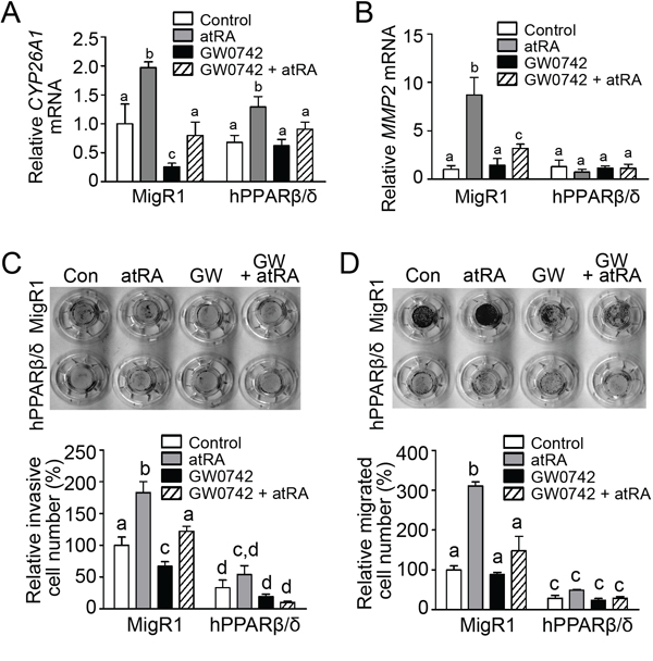PPARβ/δ interferes with atRA-mediated invasion and migration in NT2/D1 cells.