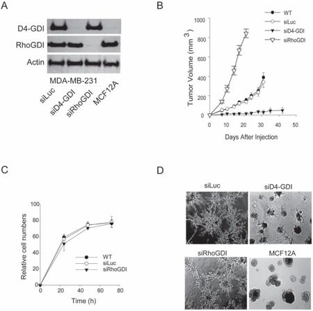 Effects of RhoGDI knockdown in vivo and in vitro.