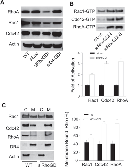 Loss of RhoGDI leads to constitutive activation of Rho GTPases.