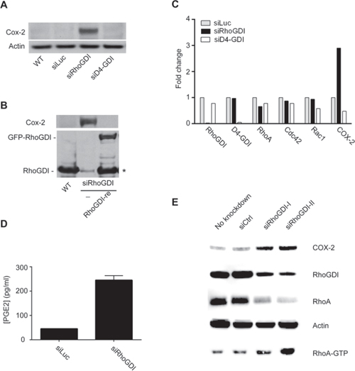RhoGDI deficiency induces an upregulation of COX-2 protein expression.