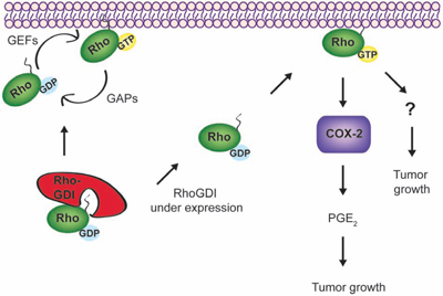 A possible signaling network links RhoGDI, Rho GTPases, and COX-2.