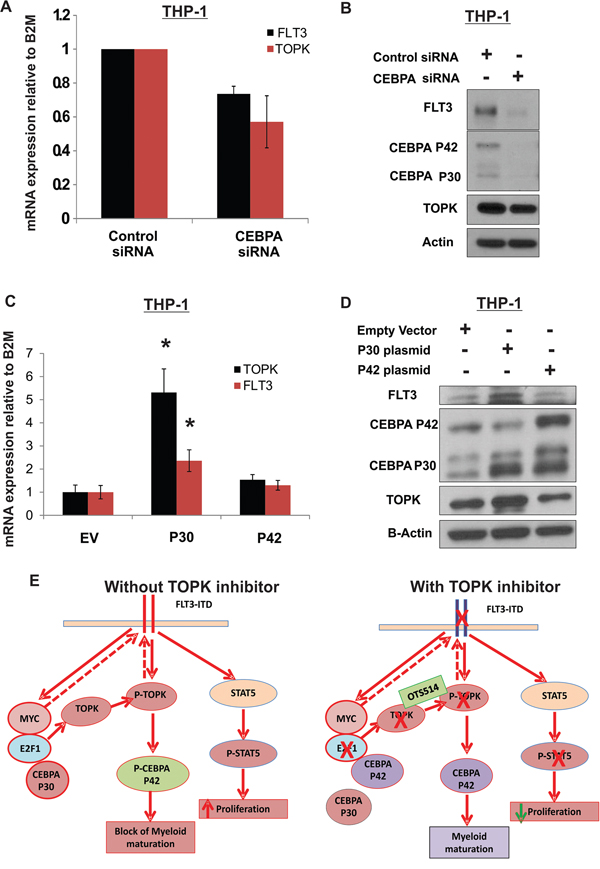 CEBPA P30 contributes to TOPK upregulation in AML.