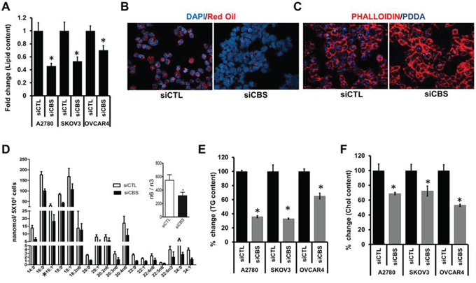 CBS affects lipid content and uptake in ovarian cancer cells.