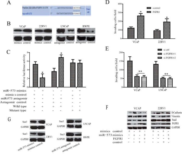 FGFR1 is directly targeted by miR-573 during EMT process.
