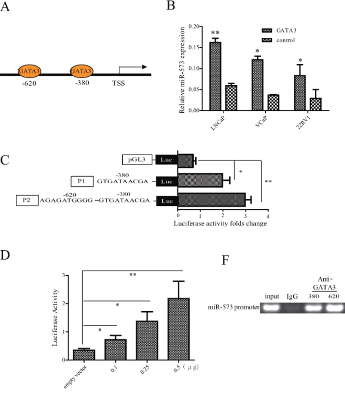 The expression of miR-573 was directly regulated by GATA3.