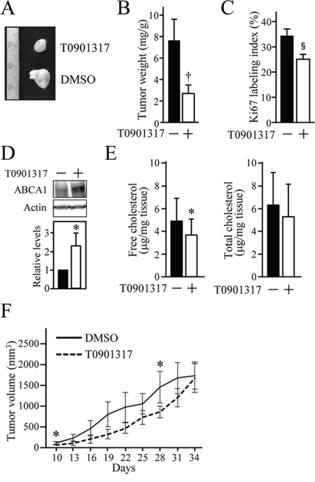 The anti-tumour effect of T0901317 on xenografts of HOSCC cells in mice.