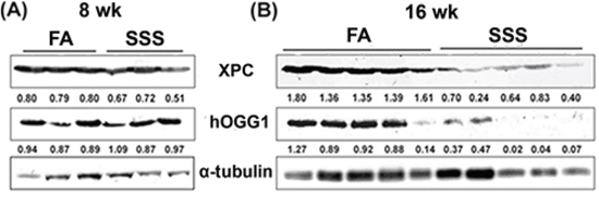 Side-stream smoke reduces the levels of XPC and hOGG1 repair proteins.