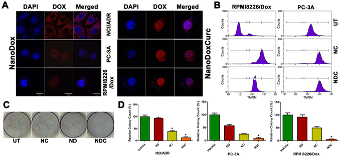 Trafficking of DOX into the nucleus and cytotoxicity are enhanced by curcumin in DOX resistant clones.