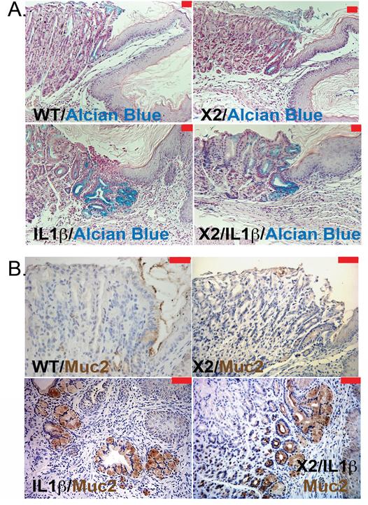 Intestinal mucin production by metaplastic glands in L2-IL-1β and K14-Cdx2::L2-IL-1β transgenic mice.