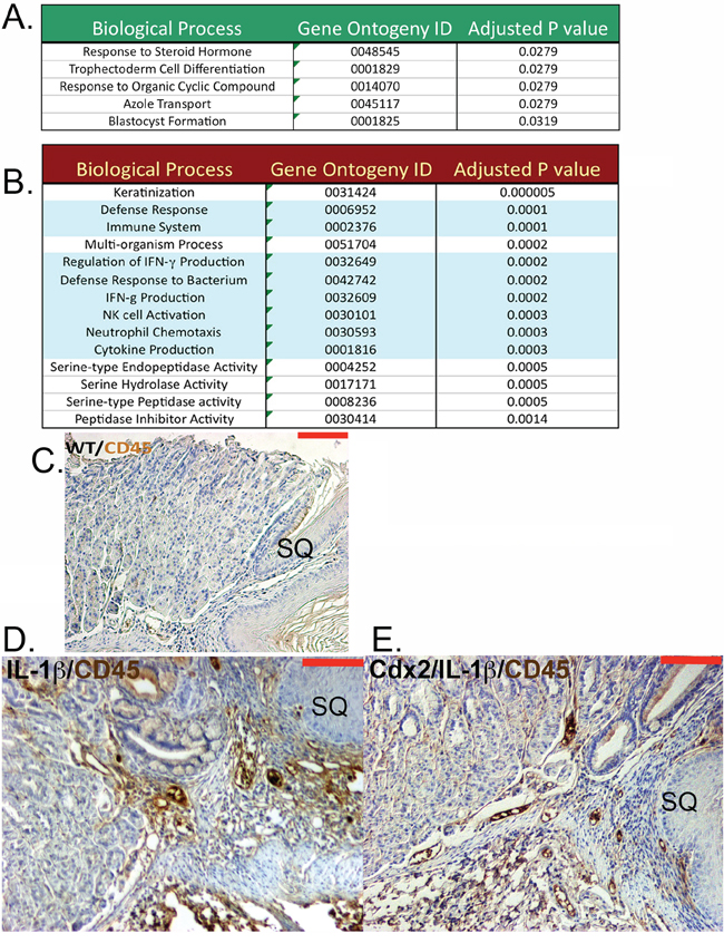 Cdx2 overexpression in L2-IL-1β transgenic mice leads to downregulated myeloid cell genes in the SCJ metaplastic nodules but no effect on CD45+ cell infiltration.