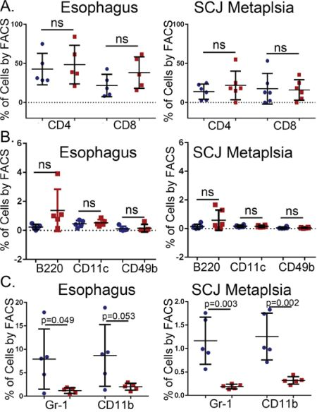 No changes in the numbers of infiltrating T-cells, B-cells, dendritic cells, and natural killer (NK) cells but a reduction in Gr-1+ and CD11b+ cells in the esophagus and SCJ metaplasia of K14-Cdx2::L2-IL-1β transgenic mice.