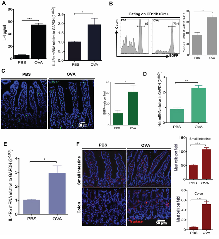 OVA intestinal allergy in WT mice induces the production of IL-4 and accumulation of HDC-expressed CD11b+Gr1+ cells.