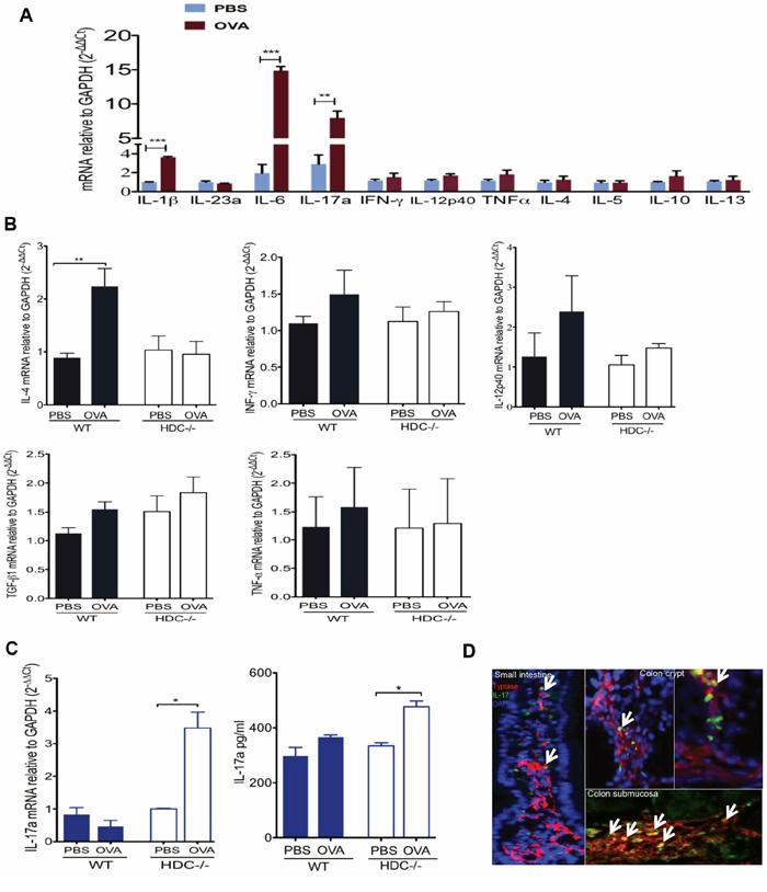 Accumulation of IL-17 producing MCs in HDC−/− mice OVA intestinal allergy.