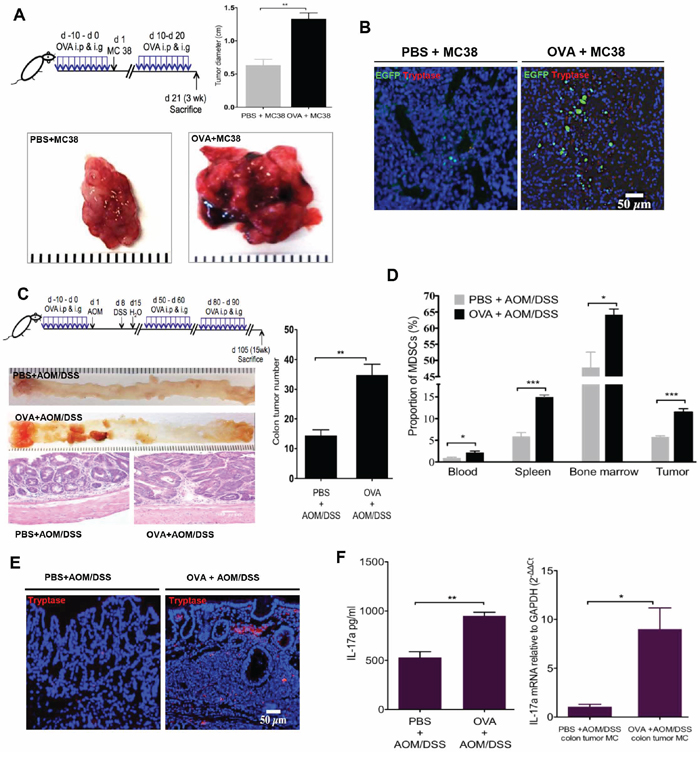 OVA intestinal allergy promote colorectal carcinogenesis in HDC−/− mice.