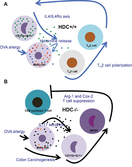 Schematic comparison of changes in HDC−/− vs WT intestine immunity during OVA allergy and following carcinogenesis.