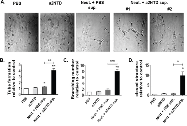 a2NTD treated neutrophils induce in vitro angiogenesis.
