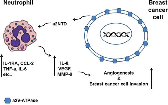 Schematic diagram summarizing the effect of a2NTD treated neutrophils on breast cancer progression.