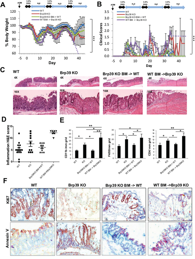 Brp39 KO mice developed severe colitis but can be partially ameliorated with IECs CHI3L1 expression and exacerbated with hematopoietic cells CHI3L1 expression.