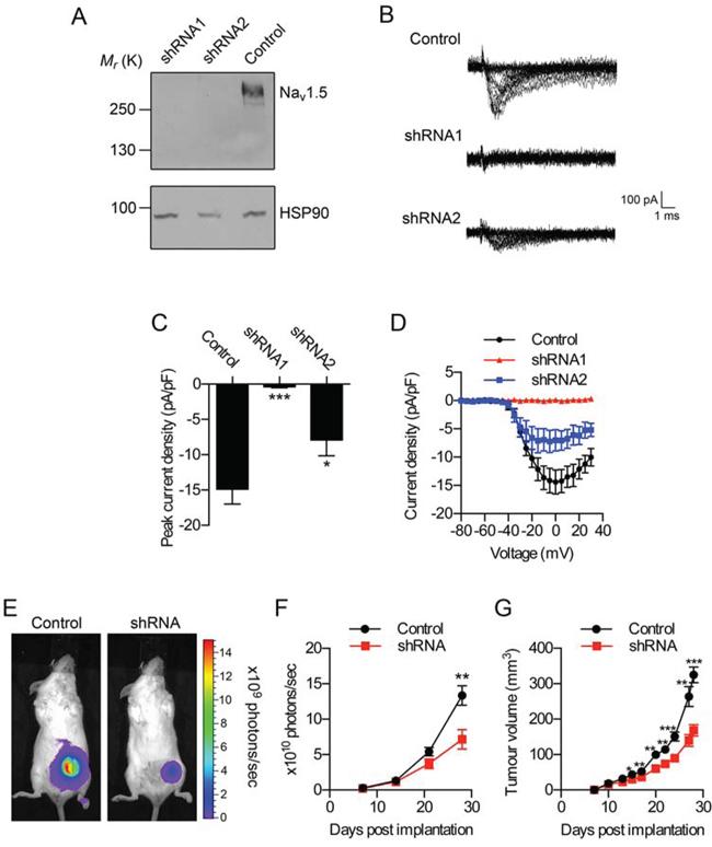 Effect of Nav1.5 on breast tumor growth in vivo.