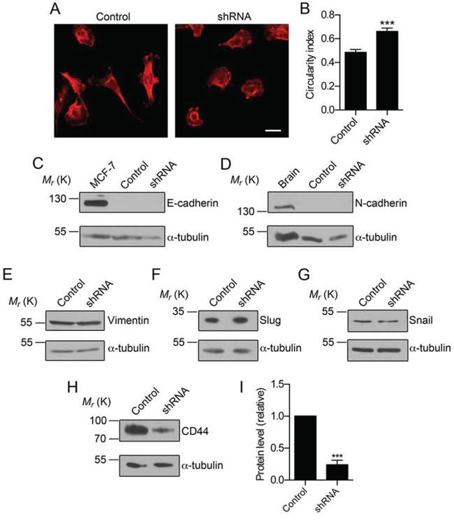 Nav1.5 regulates CD44, but not EMT marker expression.